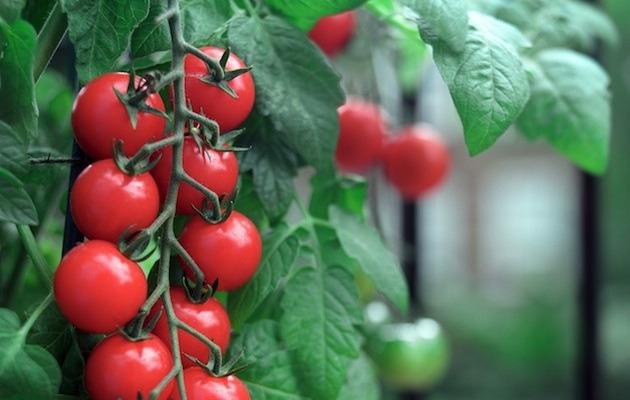 Pomodori_terrazza