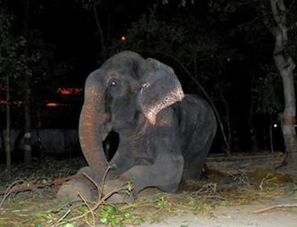 Elefante piange mentre lo liberano dopo 50 anni di sofferenze