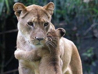 Animali: 5 fantastiche foto di cuccioli con le mamme